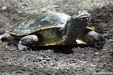 Dunkle Krötenkopfschildkröte (Phrynops geoffroanus) im Reptilium Landau