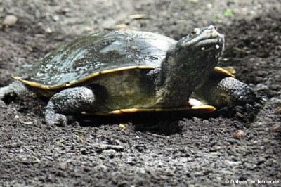 Dunkle Krötenkopfschildkröte (Phrynops geoffroanus)