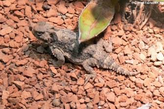 Phrynosoma platyrhinos