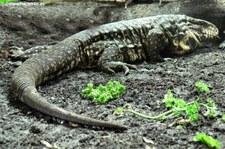 Schwarz-Weißer Teju (Salvator merianae) im Reptilium Landau