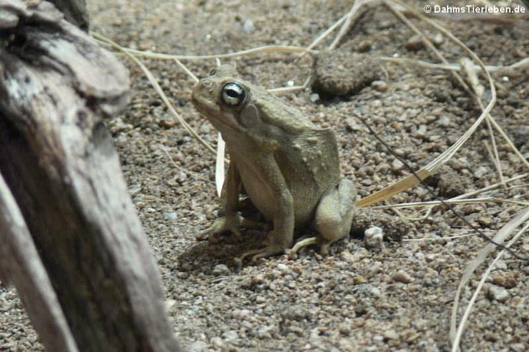 Sclerophrys regularis