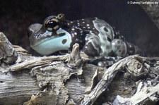 Baumhöhlen-Krötenlaubfrosch (Trachycephalus resinifictrix) im Reptilium Landau