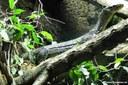 Varanus doreanus