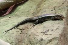 Breitschwanz-Ringelschildechse (Zonosaurus laticaudatus) im Reptilium Landau