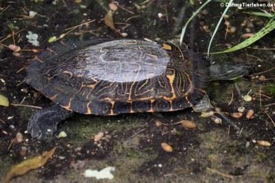 Maurische Bachschildkröte oder Spanische Wasserschildkröte (Mauremys leprosa)