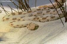 Wüsten-Hornviper (Cerastes cerastes) im TerraZoo Rheinberg