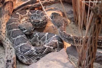 Östliche Diamant-Klapperschlangen (Crotalus adamanteus)