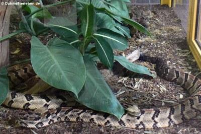 Waldklapperschlangen (Crotalus horridus)