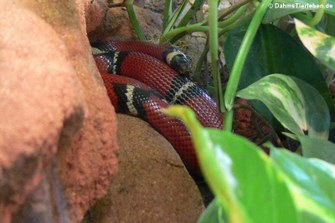 (Lampropeltis polyzona