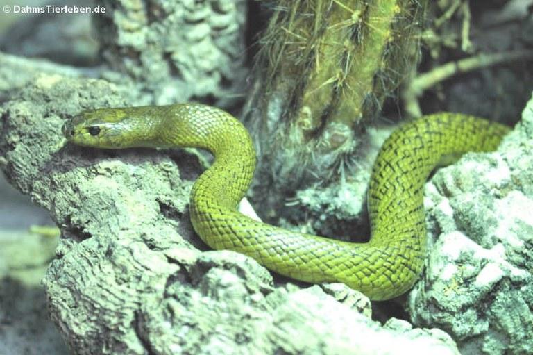 Oxyuranus microlepidotus