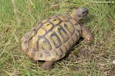 Griechische Landschildkröte (Testudo hermanni) im TerraZoo Rheinberg