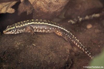 Zonosaurus quadrilineatus