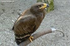 Steppenadler (Aquila nipalensis) im Hochwildschutzpark Rheinböllen