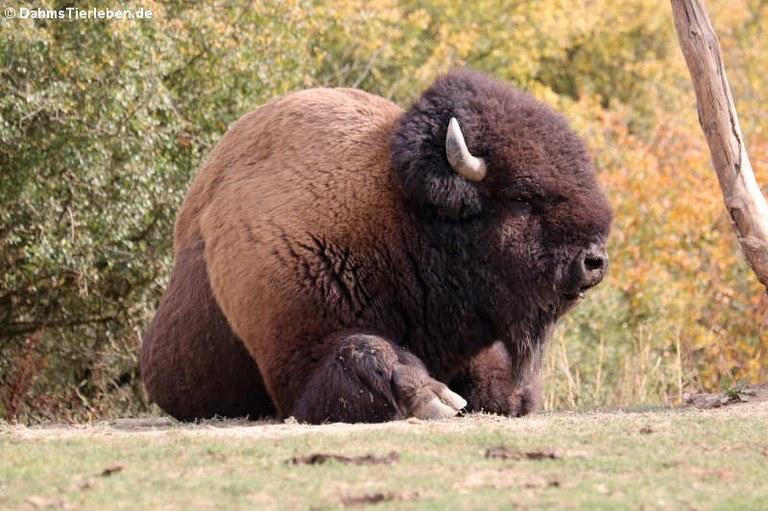 Bison bison bison