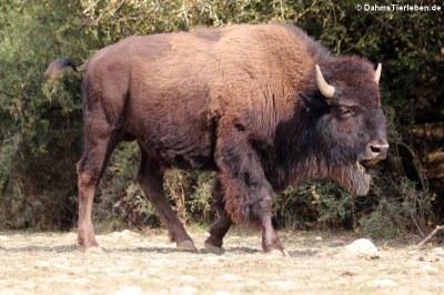 Präriebison (Bison bison bison)