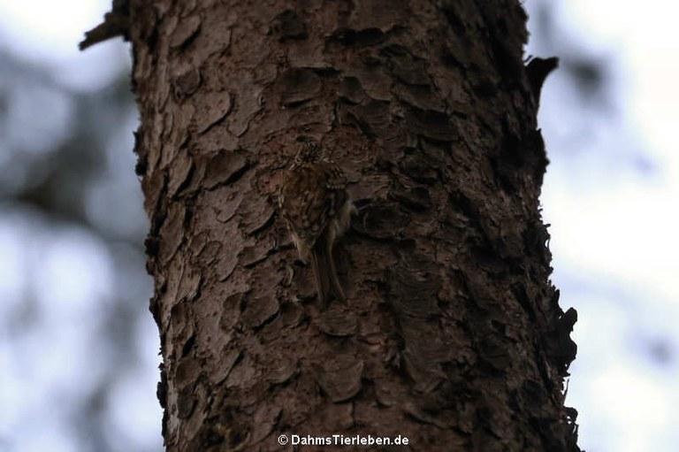 Certhia familiaris macrodactyla