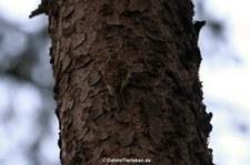 Waldbaumläufer (Certhia familiaris macrodactyla), aufgenommen in Rheinböllen