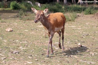 Mitteleuropäischer Rothirsch (Cervus elaphus hippelaphus)