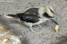Jägerliest (Dacelo novaeguineae) im Hochwildschutzpark Rheinböllen