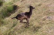 Europäischer Damhirsch (Dama dama) im Hochwildschutzpark Hunsrück - Rheinböllen