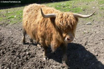 Schottisches Hochlandrind (Bos taurus)