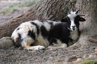 Jakob-Schaf oder Vierhorn-Schaf(Capra aegagrus hircus)