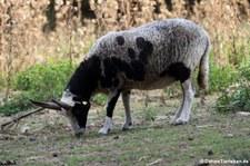 Vierhorn-Schaf im Hochwildschutzpark Hunsrück - Rheinböllen