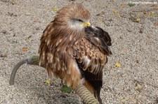 Rotmilan (Milvus milvus) im Hochwildschutzpark Rheinböllen
