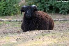 Ouessant-Schaf im Hochwildschutzpark Hunsrück - Rheinböllen