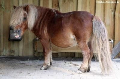 Shetlandpony (Equus ferus f. caballus)