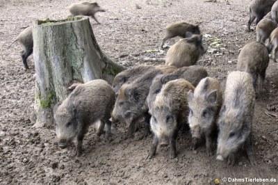 Wildschweine (Sus scrofa)