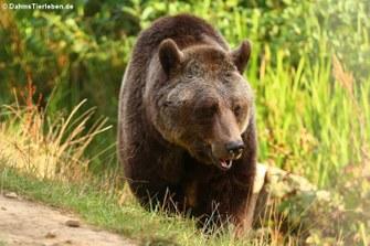 Europäischer Braunbär (Ursus arctos arctos)