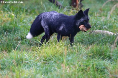 Silberfuchs oder Farmfuchs (Vulpes vulpes f. domestica)