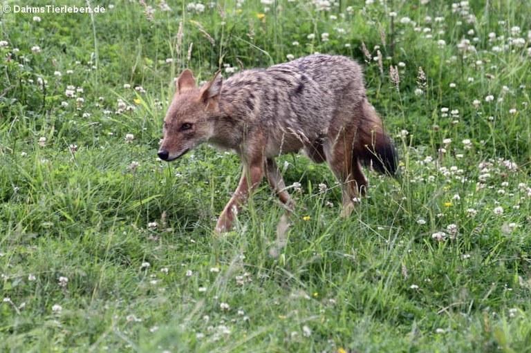 Canis aureus moreotica
