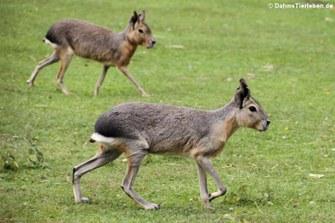 Große Pampashasen oder Maras (Dolichotis patagonum)