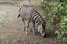 Chapman-Zebra (Equus quagga chapmani) im Naturzoo Rheine