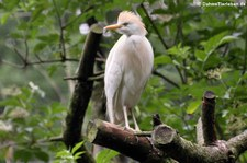 Kuhreiher (Bubulcus ibis) im Naturzoo Rheine