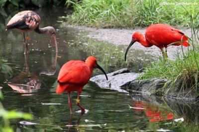 Rote Sichler (Eudocimus ruber)
