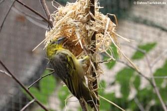 Westlicher Dorfweber beim Nestbau (Ploceus cucullatus cucullatus)