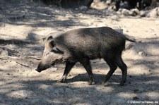Wildschwein (Sus scrofa scrofa) im Wildpark Rolandseck