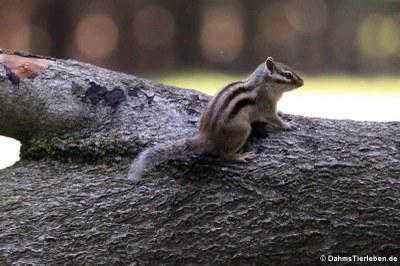 Burunduk oder Sibirisches Streifenhörnchen (Tamias sibiricus)