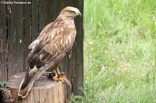 Steppenadler (Aquila nipalensis) im Greifvogelpark Saarburg