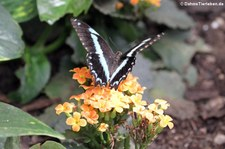 Blaugestreifter Schwalbenschwanz (Papilio nireus) im Garten der Schmetterlinge, Sayn