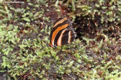 Passionsfalter (Dryadula phaetusa)