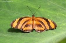 Passionsfalter (Dryadula phaetusa) im Garten der Schmetterlinge, Schlosspark von Sayn