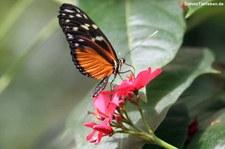 Tiger-Passionsblumenfalter (Heliconius hecale) im Garten der Schmetterlinge, Sayn