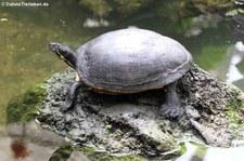 Florida-Rotbauch-Schmuckschildkröte (Pseudemys nelsoni) im Garten der Schmetterlinge, Sayn