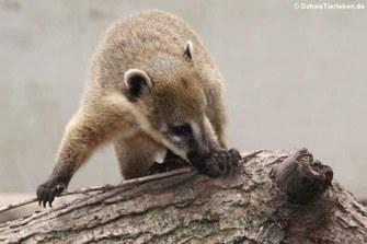 Südamerikanischer Nasenbär (Nasua nasua)