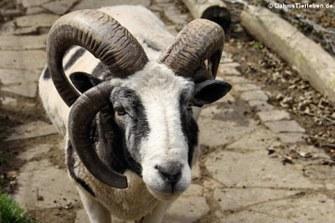 Vierhornschaf (Ovis ammon f. aries)