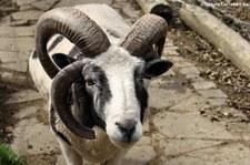 Vierhorn-Schaf im Eifelzoo Lünebach-Pronsfeld